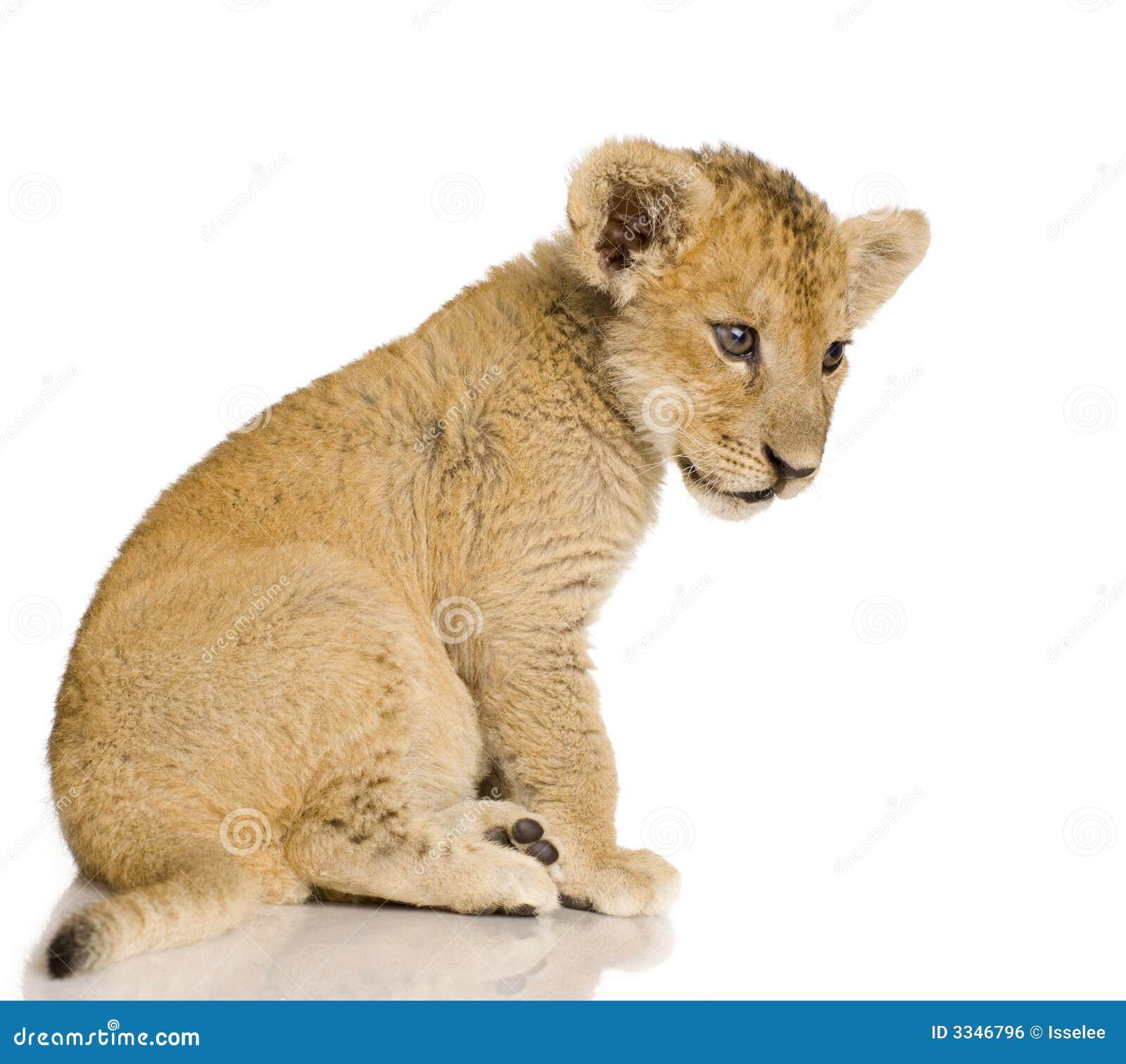 Lion sitting profile - photo#45