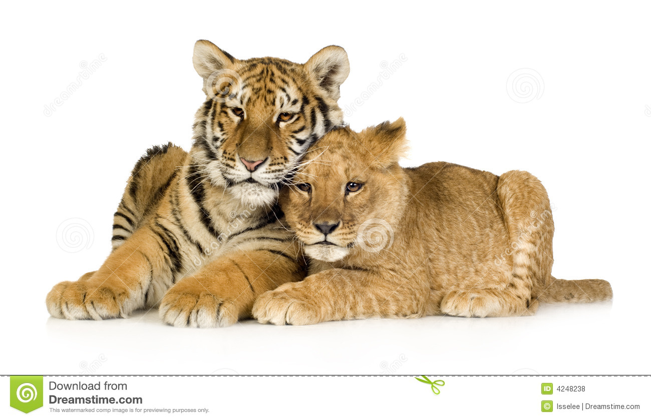 Lion Cub (5 Months) And Tiger Cub (5 Months) Royalty Free Stock Photos ...