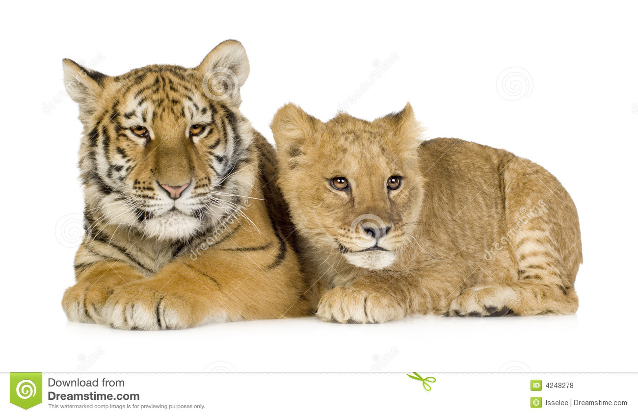 Lion Cub (5 Months) And Tiger Cub (5 Months) Stock Photo ...