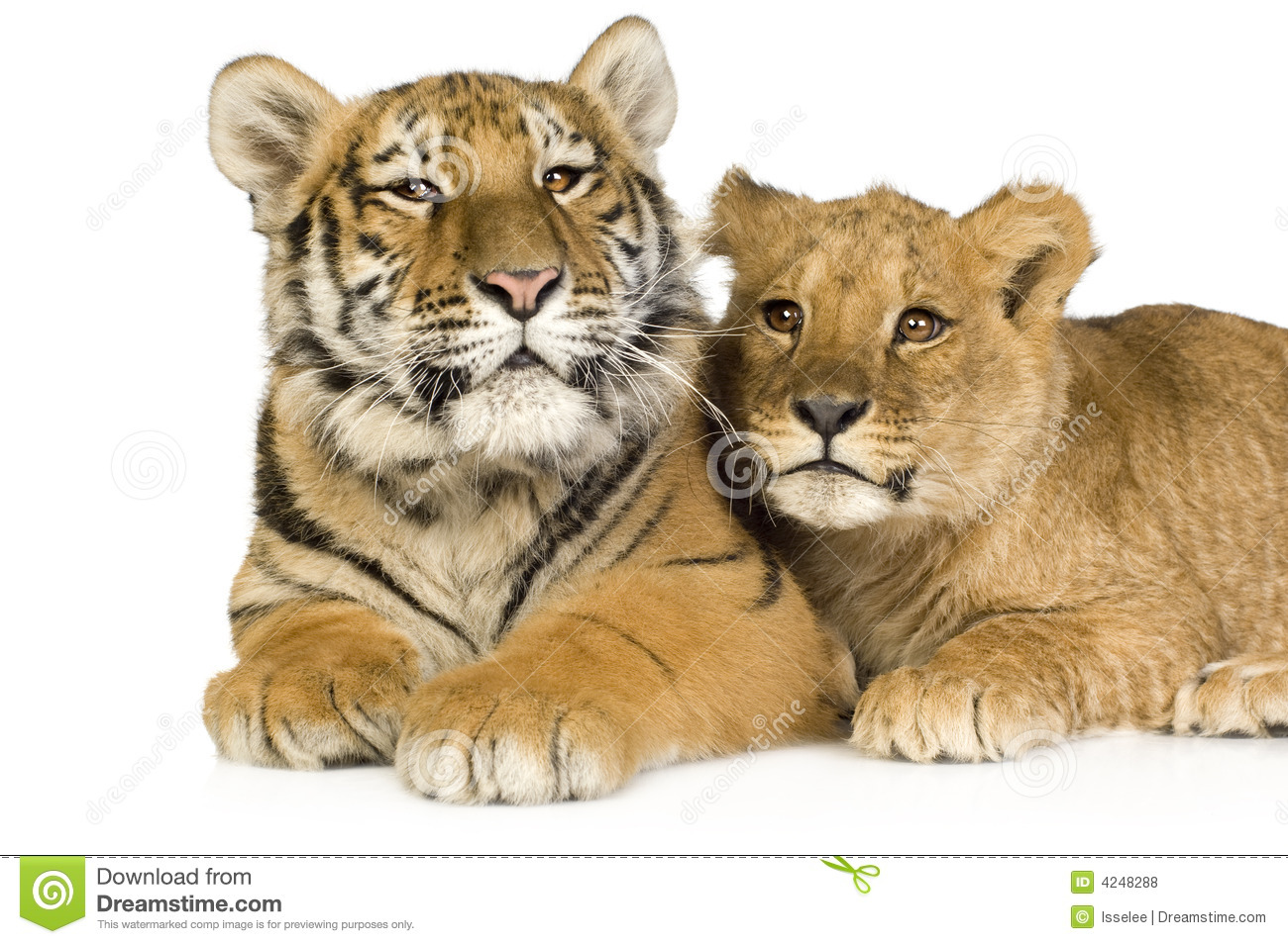 Image Gallery lion tiger cubs