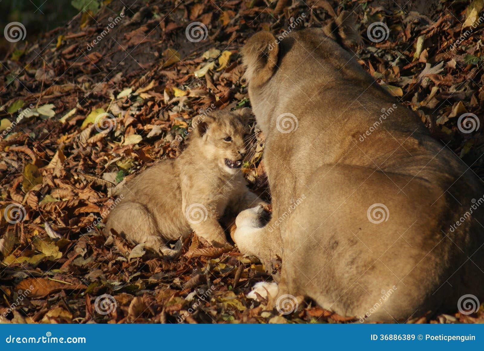 Download Lion Cub Asiatico - Persica Di Leo Della Panthera Immagine Stock - Immagine di regno, giovanile: 36886389