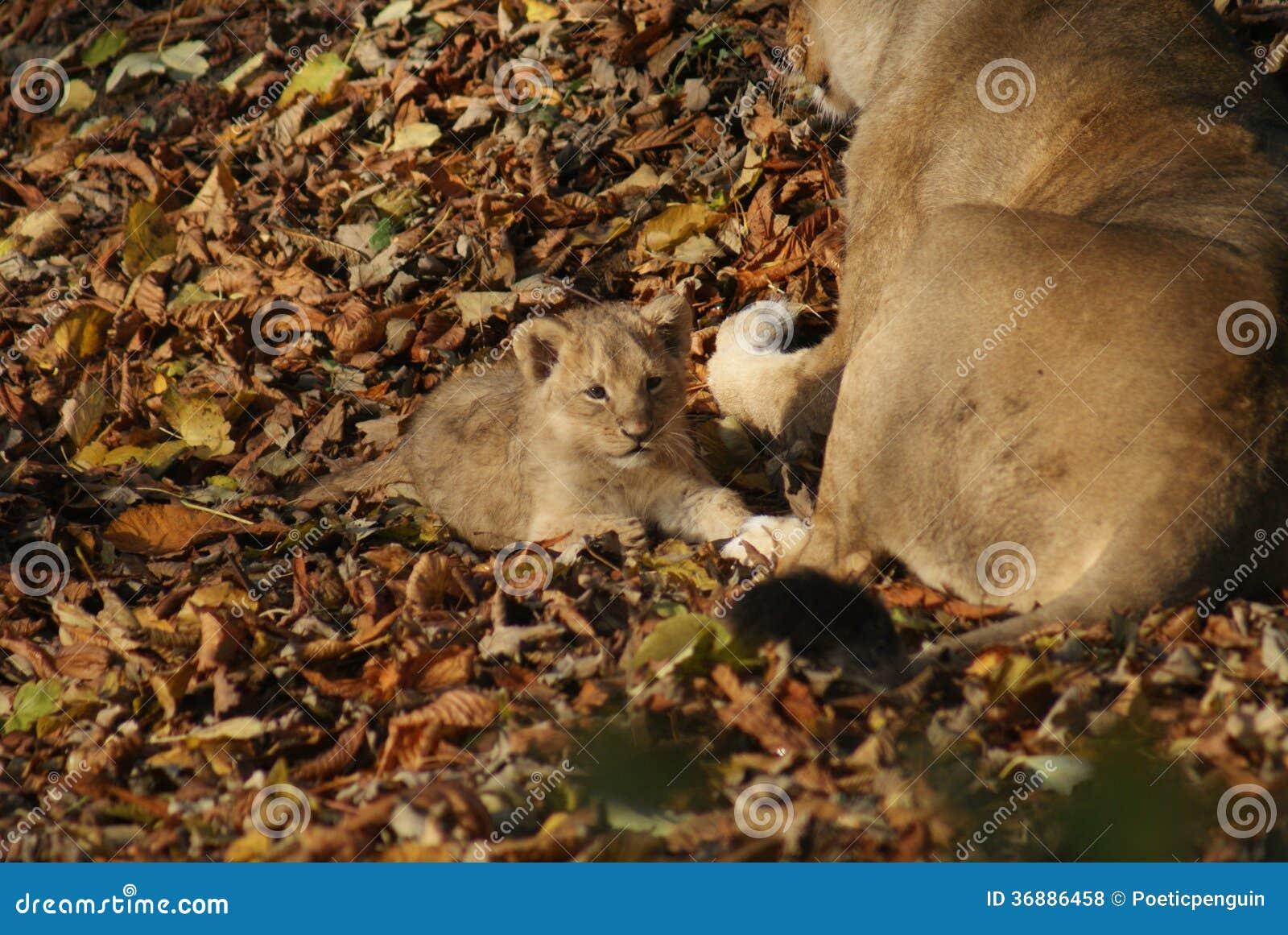 Download Lion Cub Asiatico - Persica Di Leo Della Panthera Fotografia Stock - Immagine di pantera, aggressivo: 36886458
