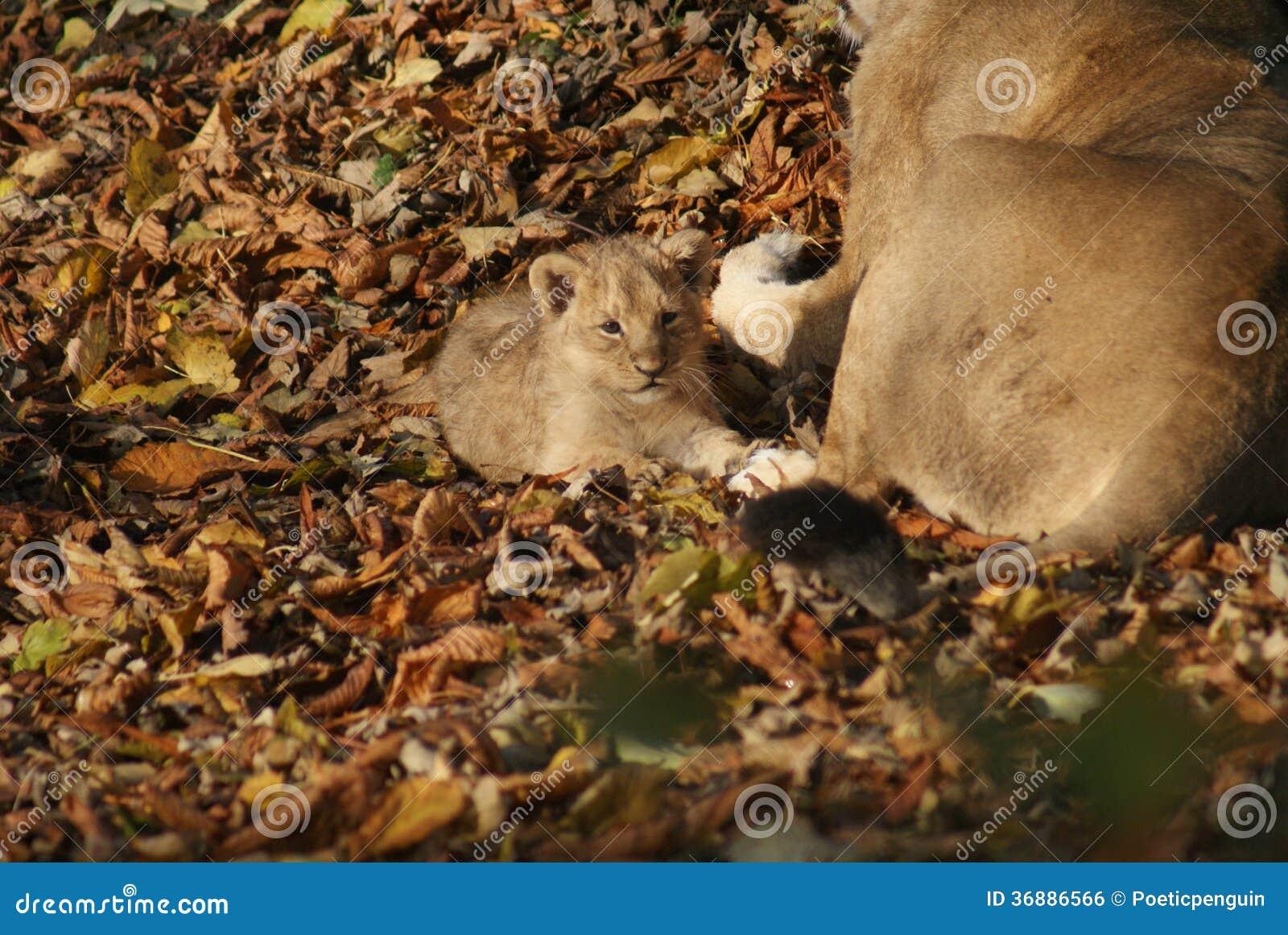 Download Lion Cub Asiatico - Persica Di Leo Della Panthera Fotografia Stock - Immagine di aggressione, giungla: 36886566