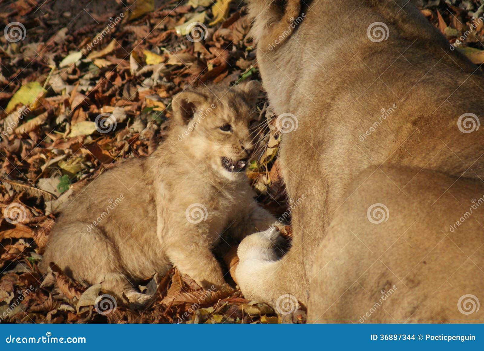 Download Lion Cub Asiatico - Persica Di Leo Della Panthera Fotografia Stock - Immagine di mammifero, persiano: 36887344