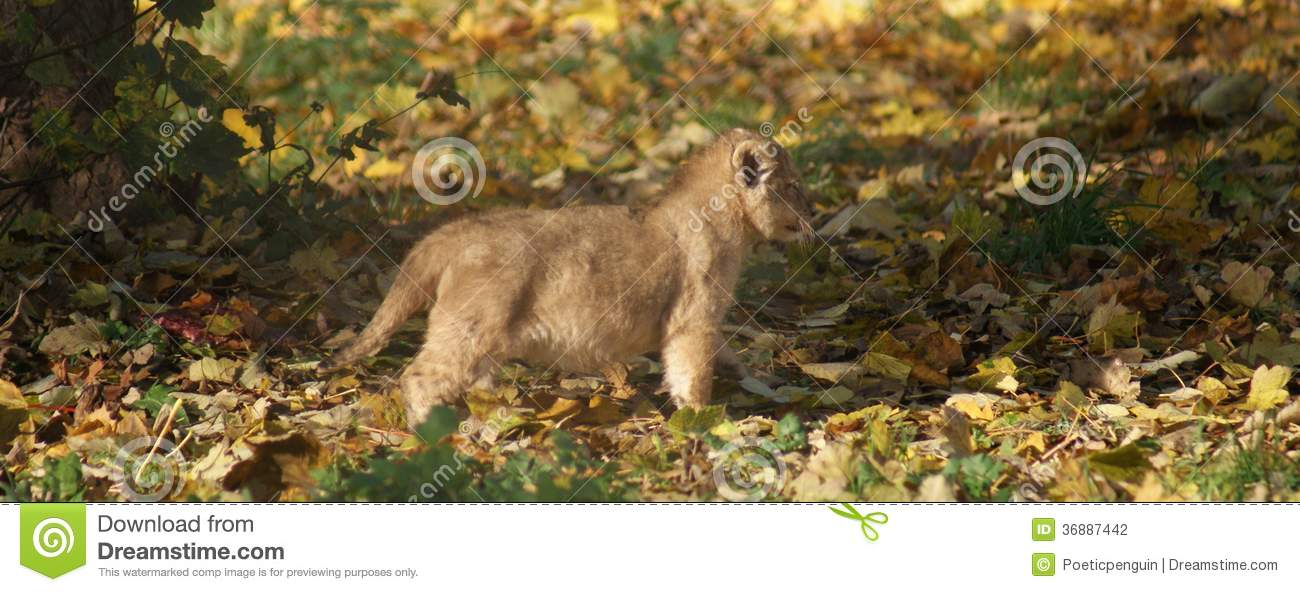 Download Lion Cub Asiatico - Persica Di Leo Della Panthera Fotografia Stock - Immagine di brown, phylum: 36887442