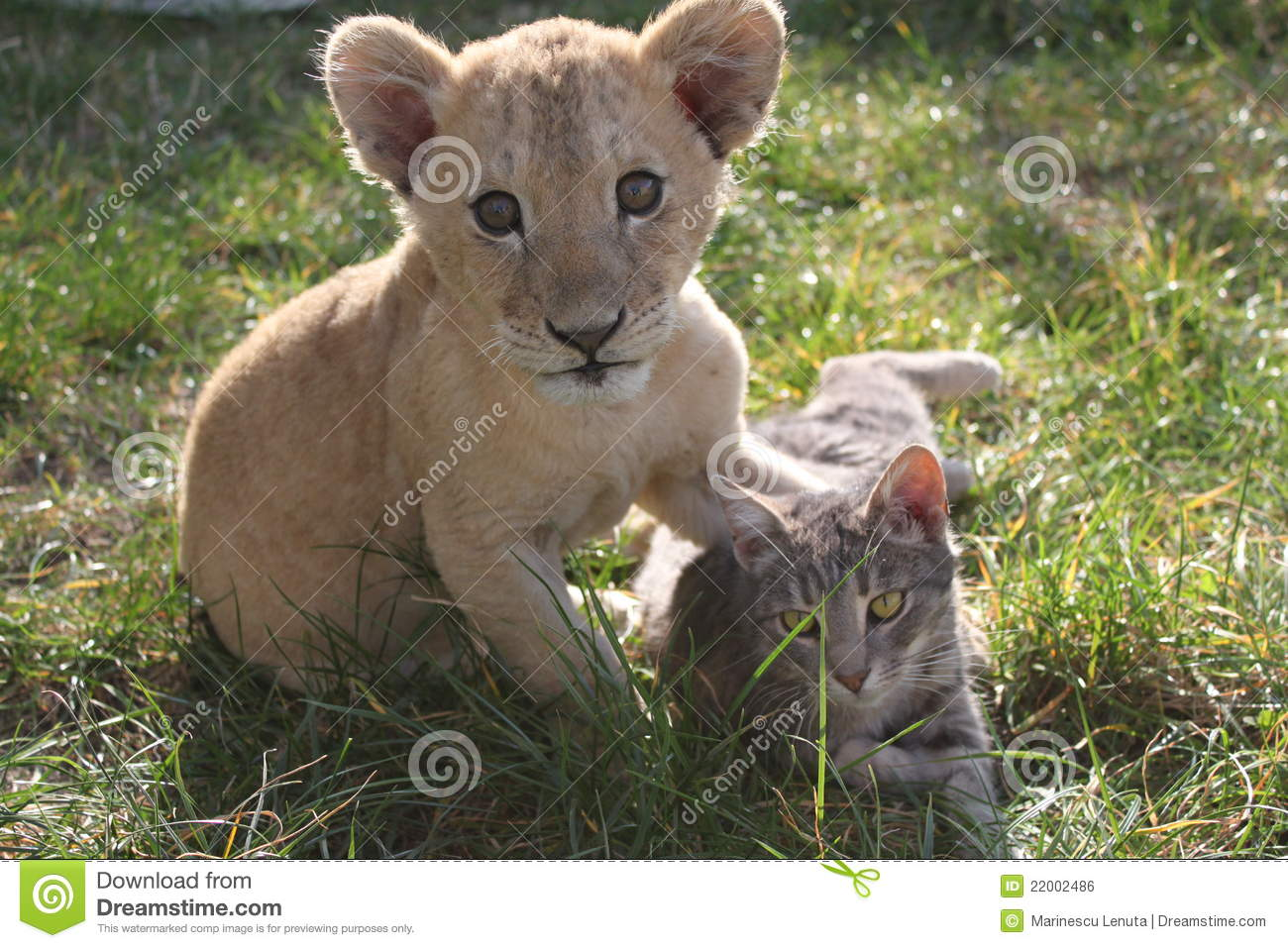 Lion Cub With Cat Royalty Free Stock Image Image 22002486
