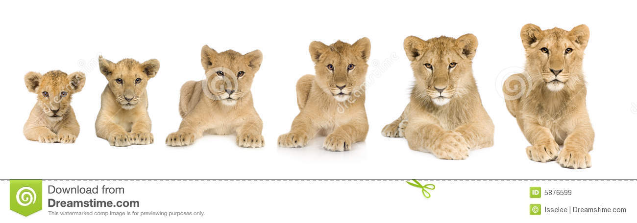 Lion Cub Growing From 3 To 9 Months In Front Of A Royalty Free Stock ...