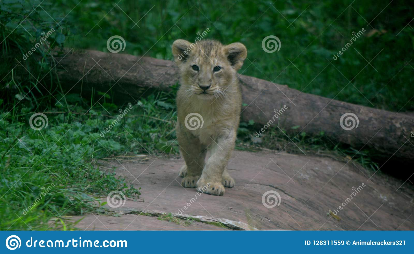 Lion cub from Paignton Zoo.