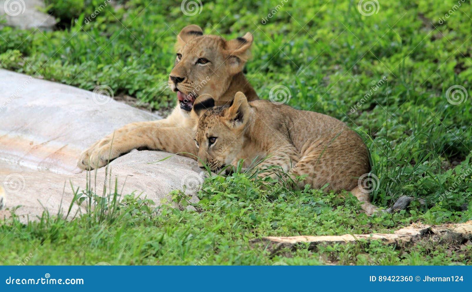 Lion Cubs pequeno