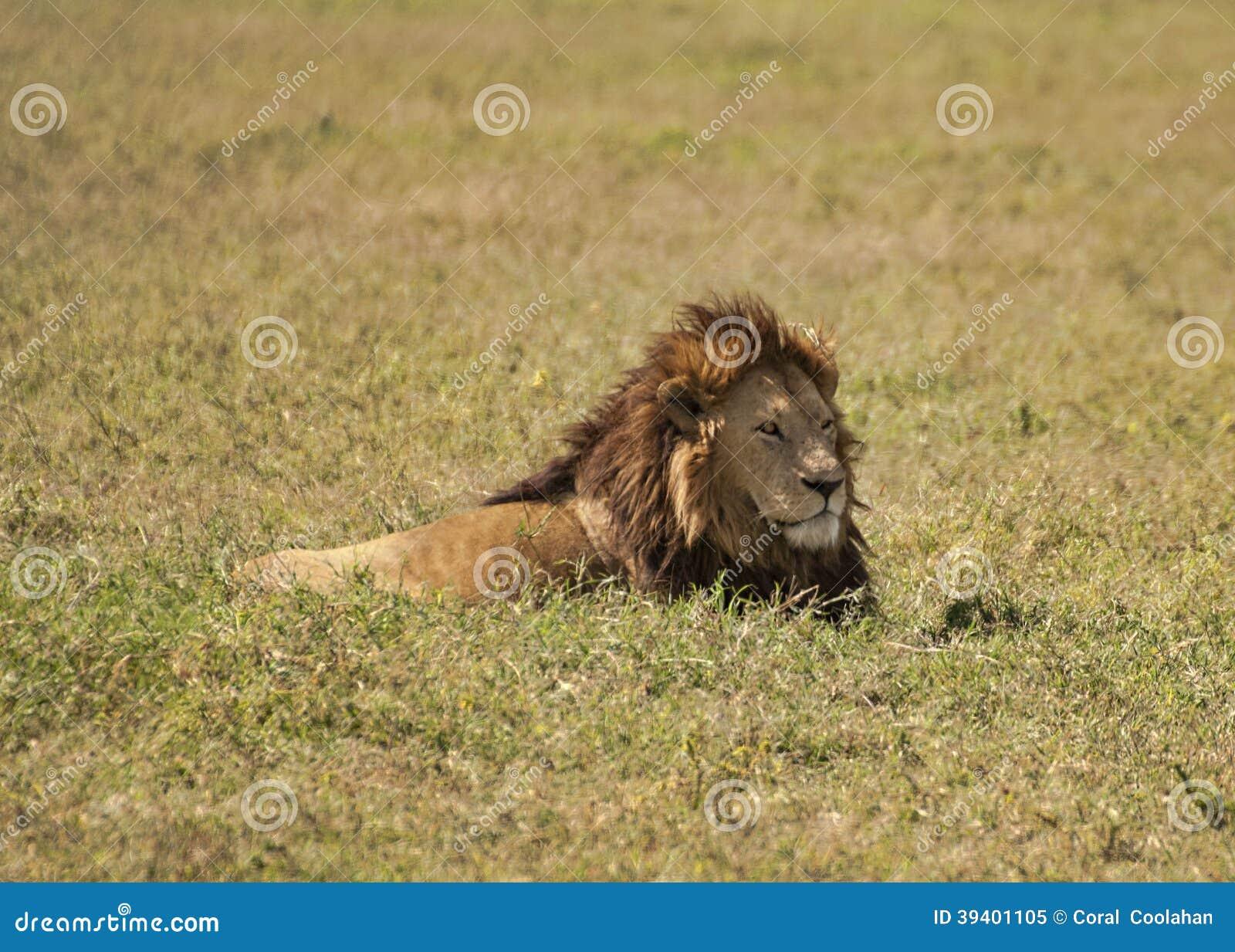Lion dans l herbe