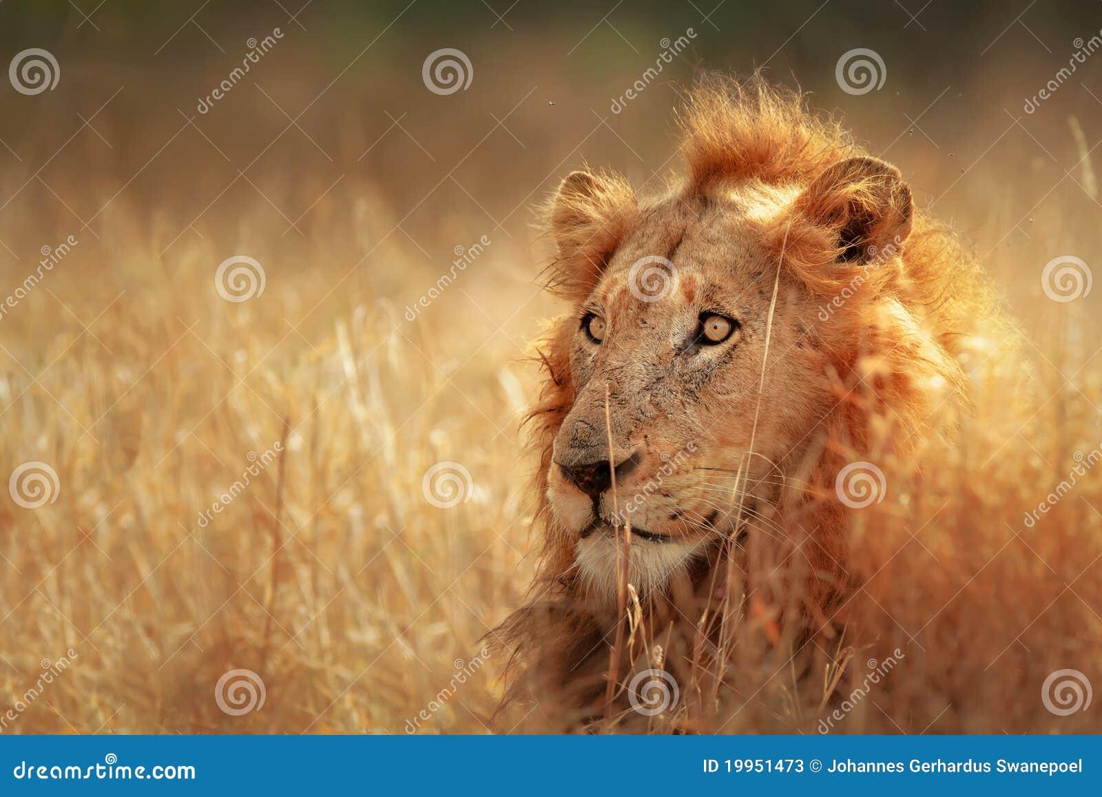 Lion dans la prairie