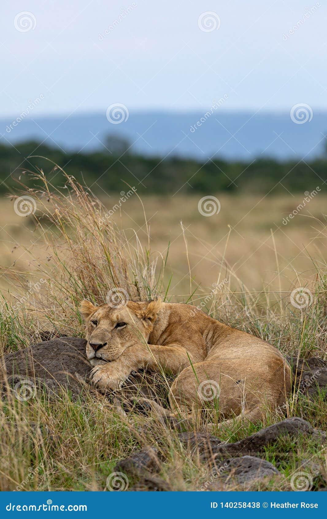 Lion dans le penchement sur des prairies d une roche sur Masai Mara, Kenya Afrique