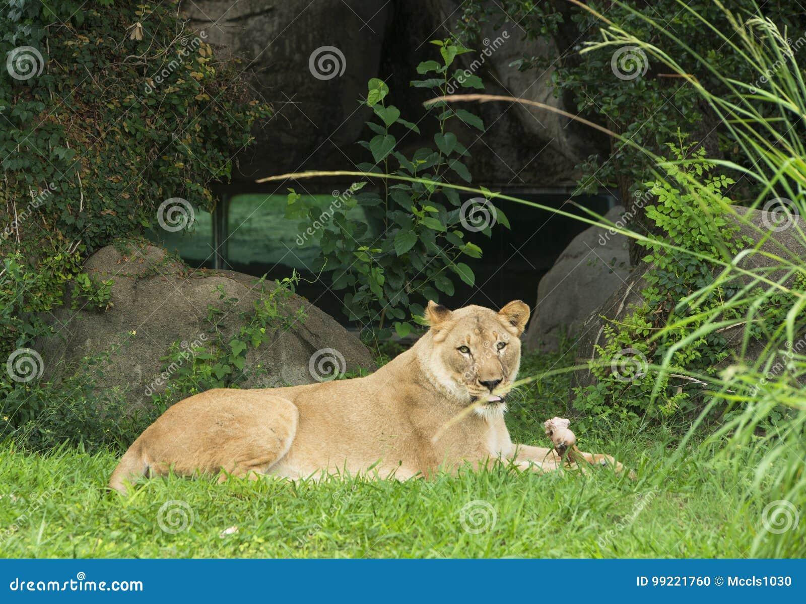 Lion dans le zoo