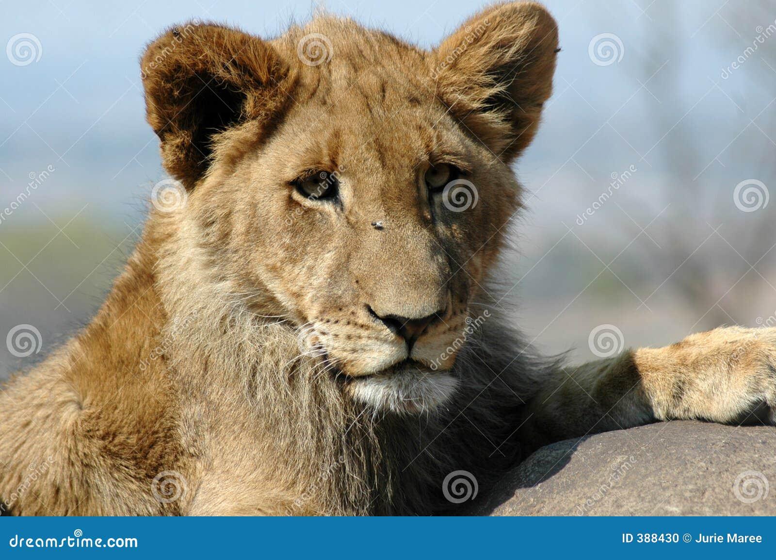 Lion de chéri.