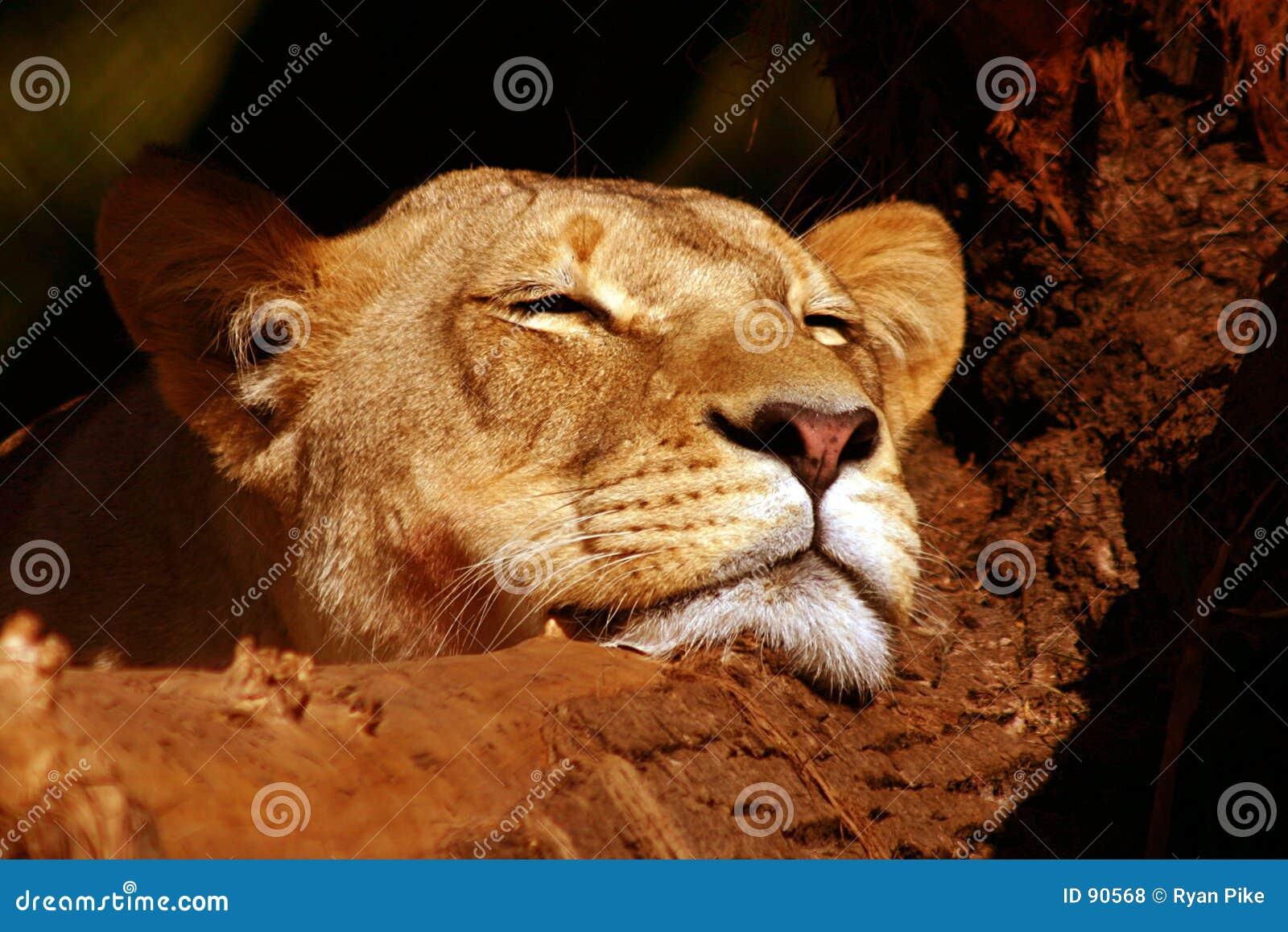 Lion de repos photo stock image du l gant chat animal - Photos de lions gratuites ...