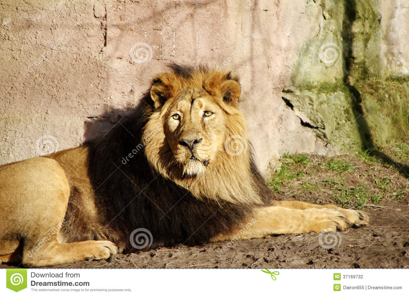 Lion Stock Photography - Image: 37169732