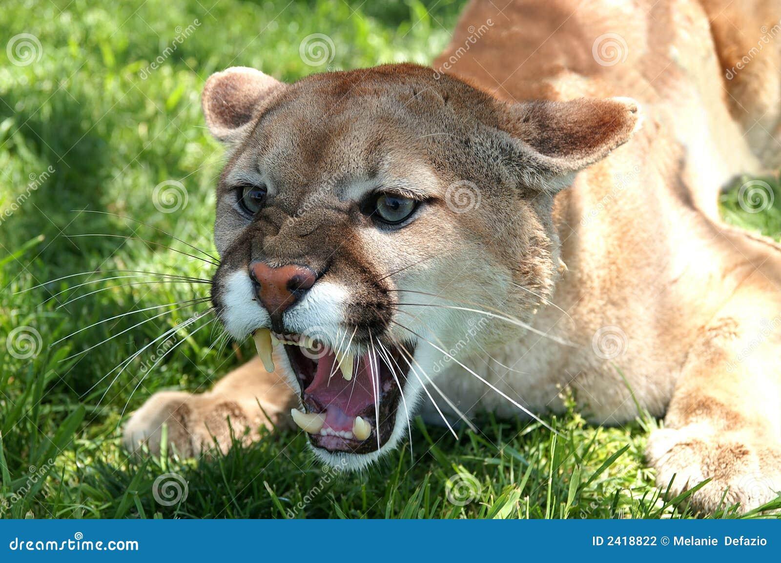 Lion du grognement Mt