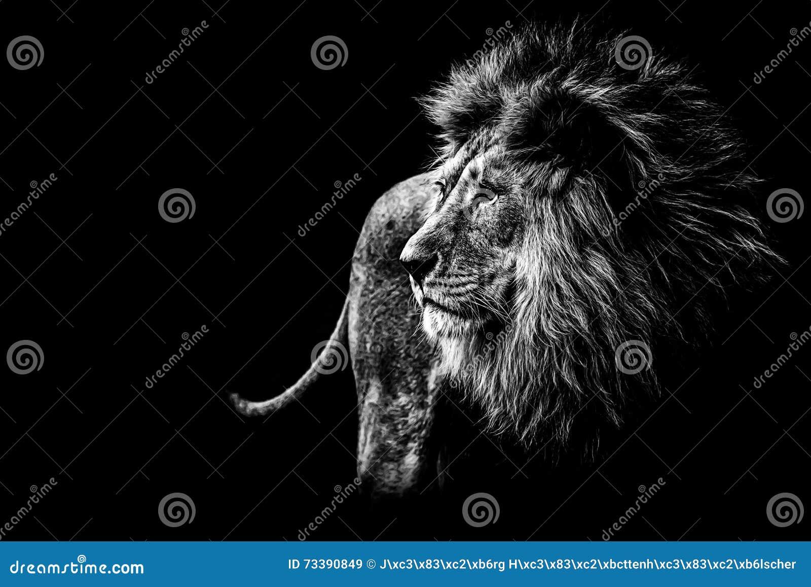 Lion en noir et blanc