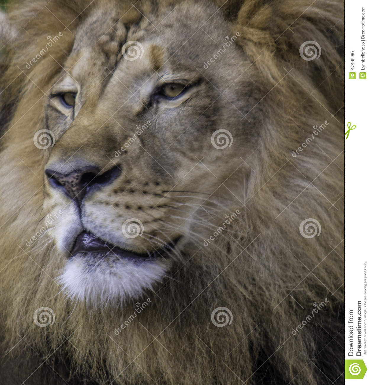 Lion Face Stock Photo - Image: 47449967