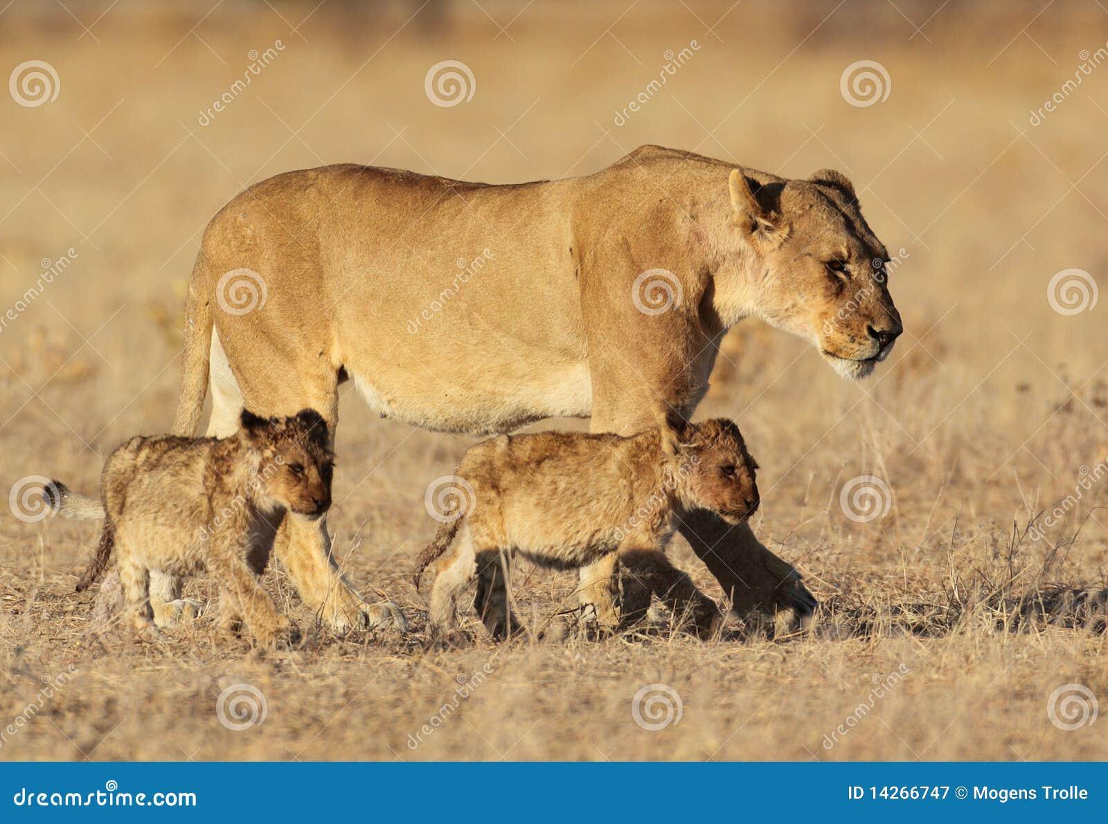 Lion family in golden sunrise light