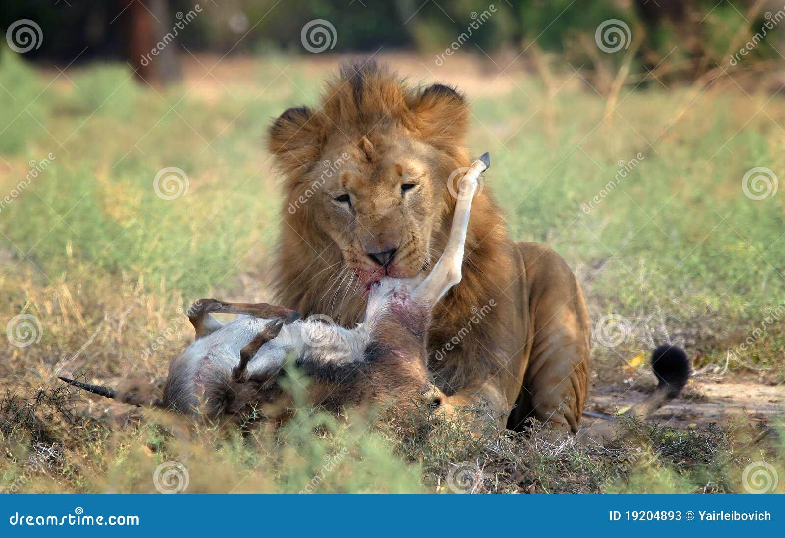 lion feeding stock image image of nature lion gazelle
