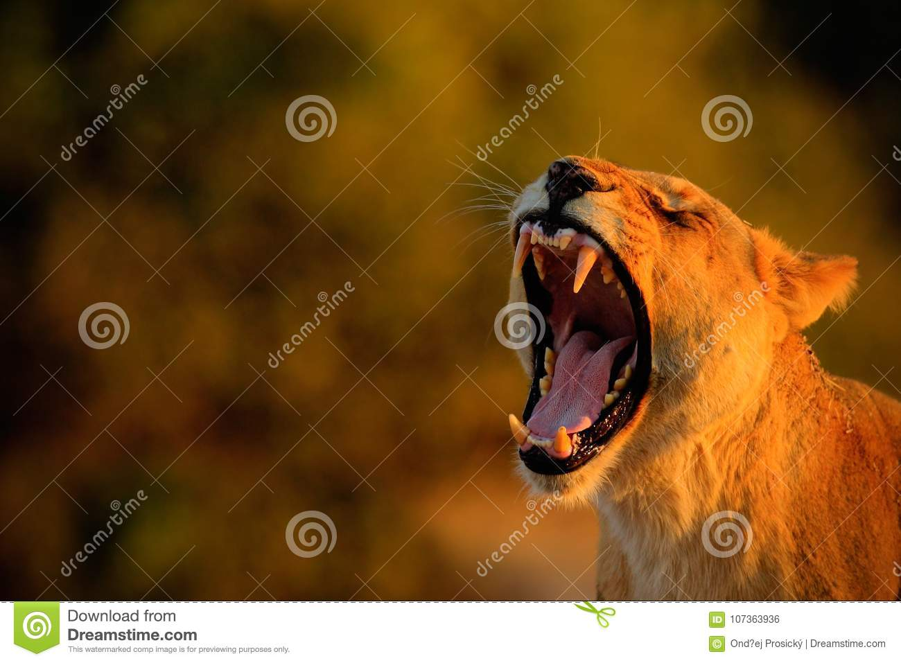 Lion female with open muzzle and big tooth. Beautiful evening sun. African lion, Panthera leo, detail portrait of big animal, even
