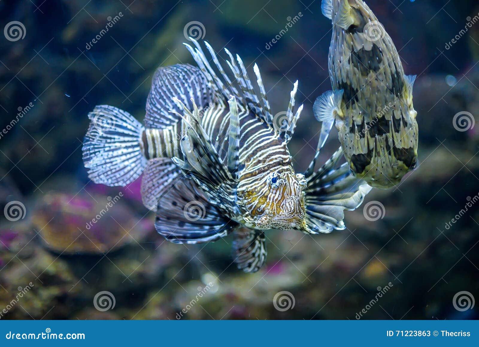 Fish for marine aquarium - Lion Fish And Baloon Fish In Marine Aquarium