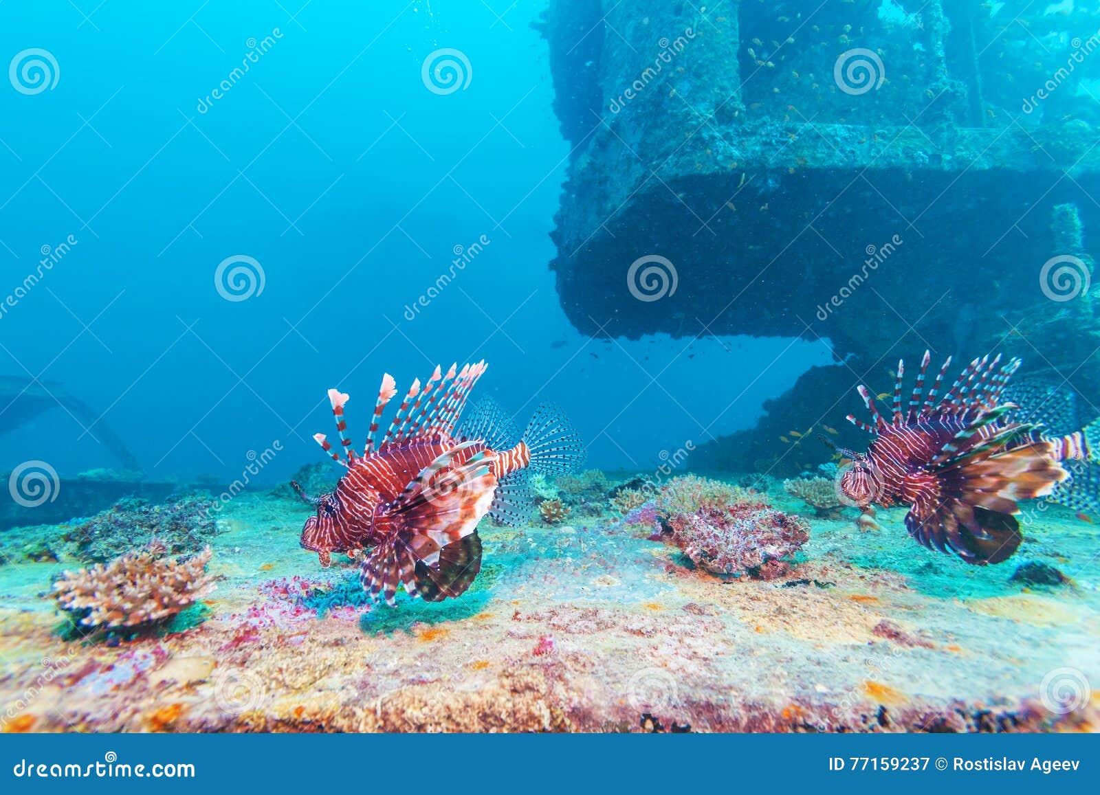 Lion Fish dangereux près de naufrage