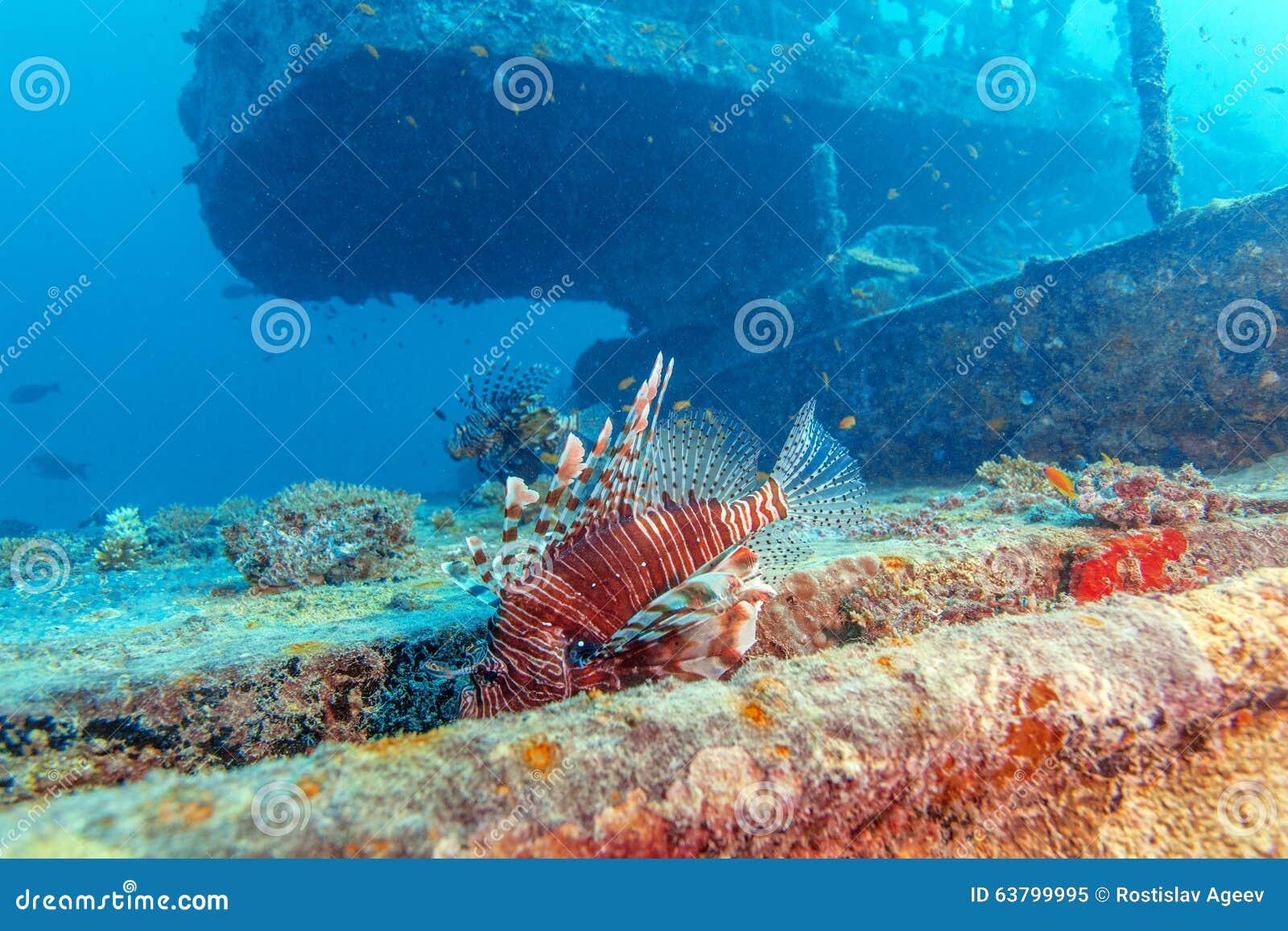 Lion Fish pericoloso vicino al naufragio