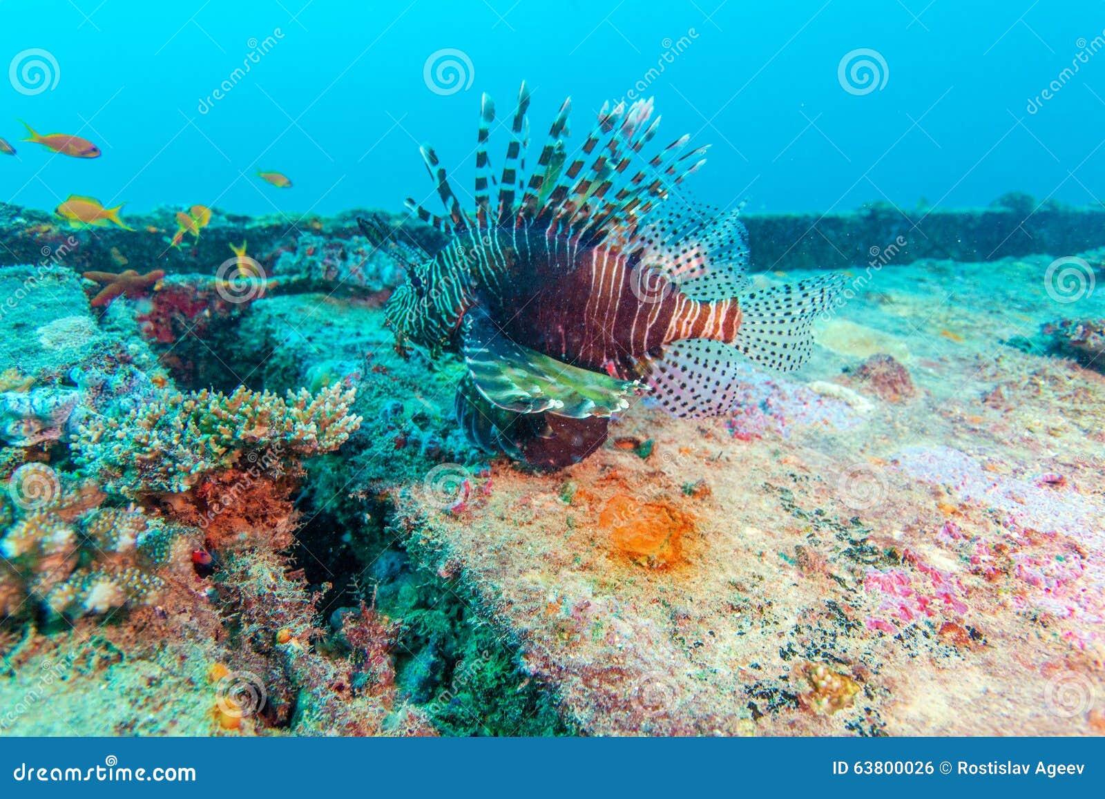 Lion Fish perigoso perto do naufrágio