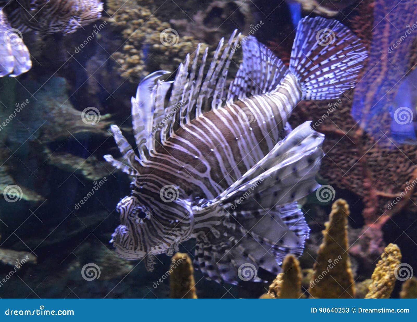 Fish in ripleys aquarium - Lion Fish Ripleys Aquarium Editorial Stock Photo