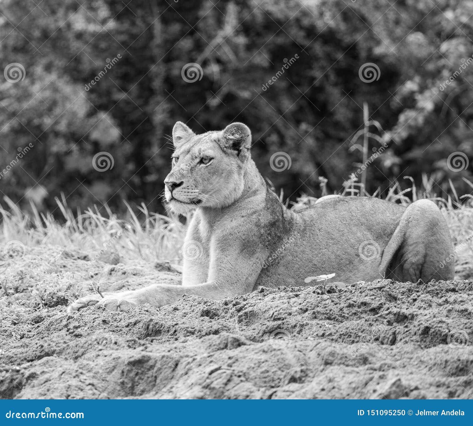 Lion focalisé dans noir et blanc