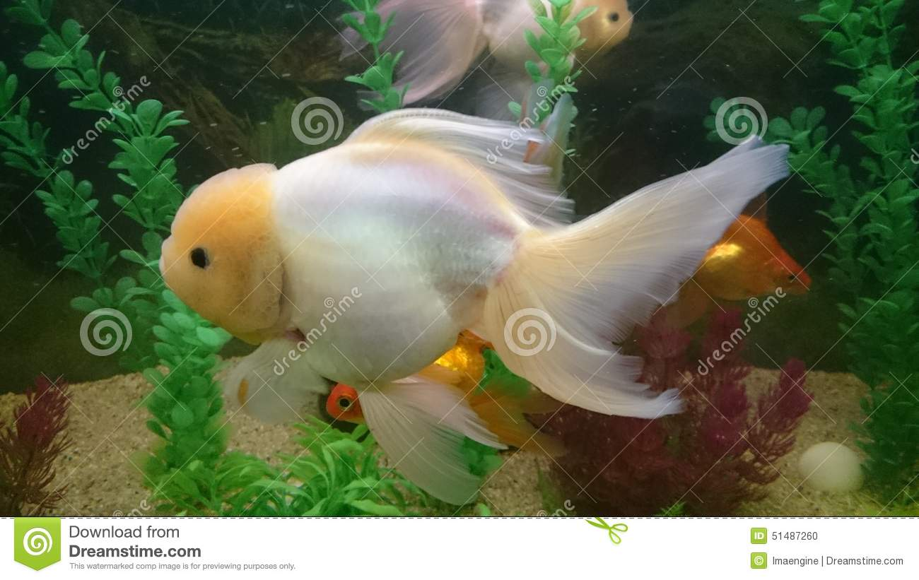 Lion Head Gold Fish Stock Photo - Image: 51487260