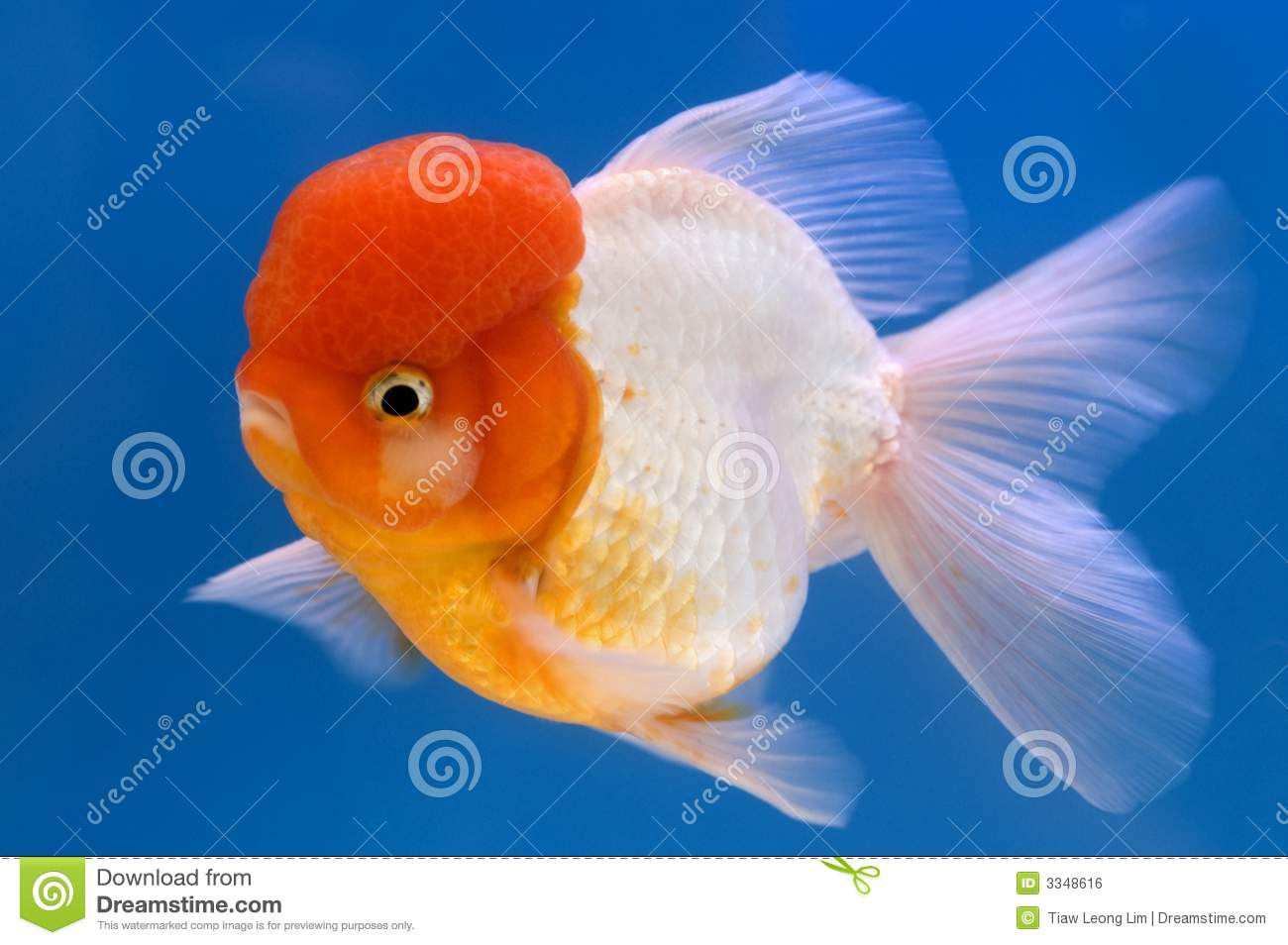 Lion head oranda goldfish stock photo image of carp for Aquarium 30l combien de poisson rouge