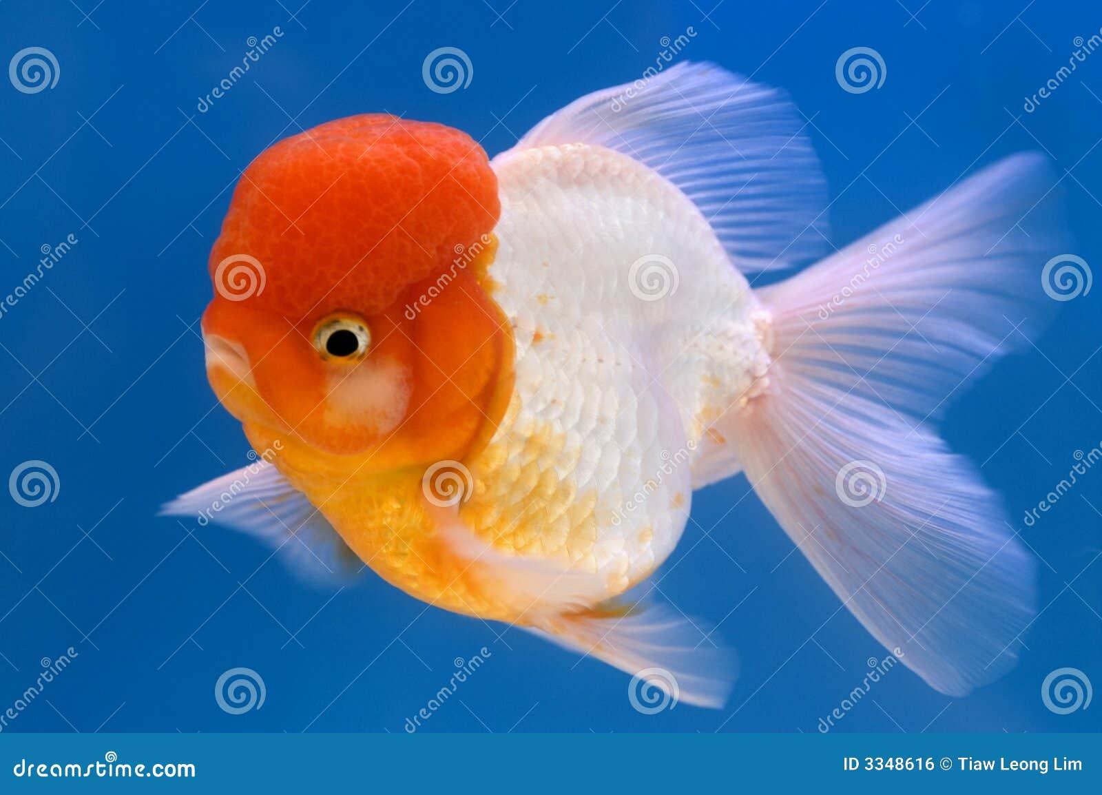 Lion Head Oranda Goldfish stock photo  Image of carp, lionhead - 3348616