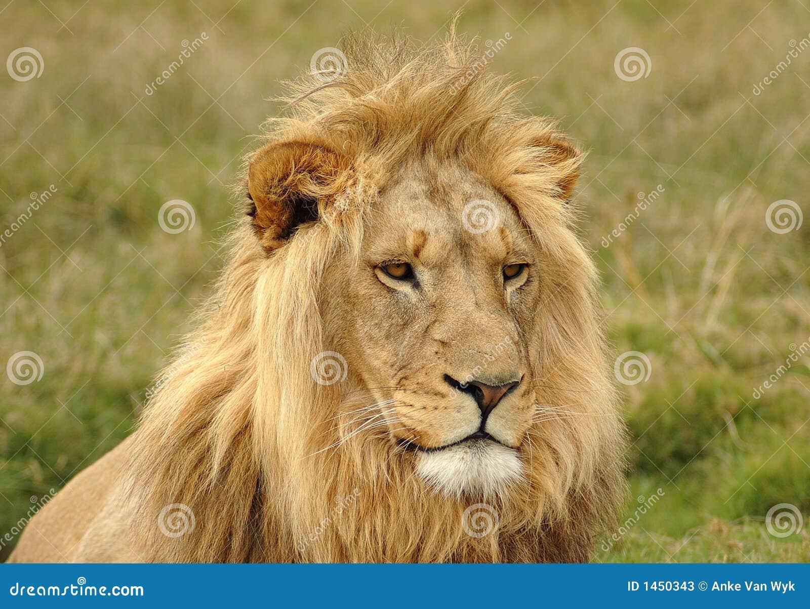Lion head - photo#21