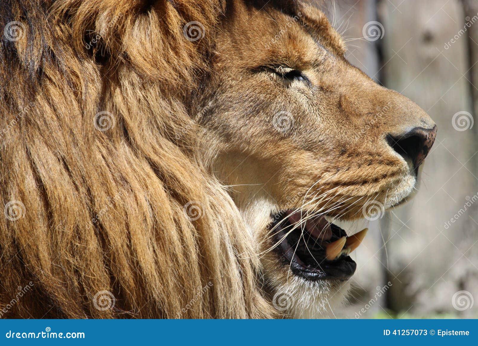 Lion Head Profile Stock Photo - Image: 41257073