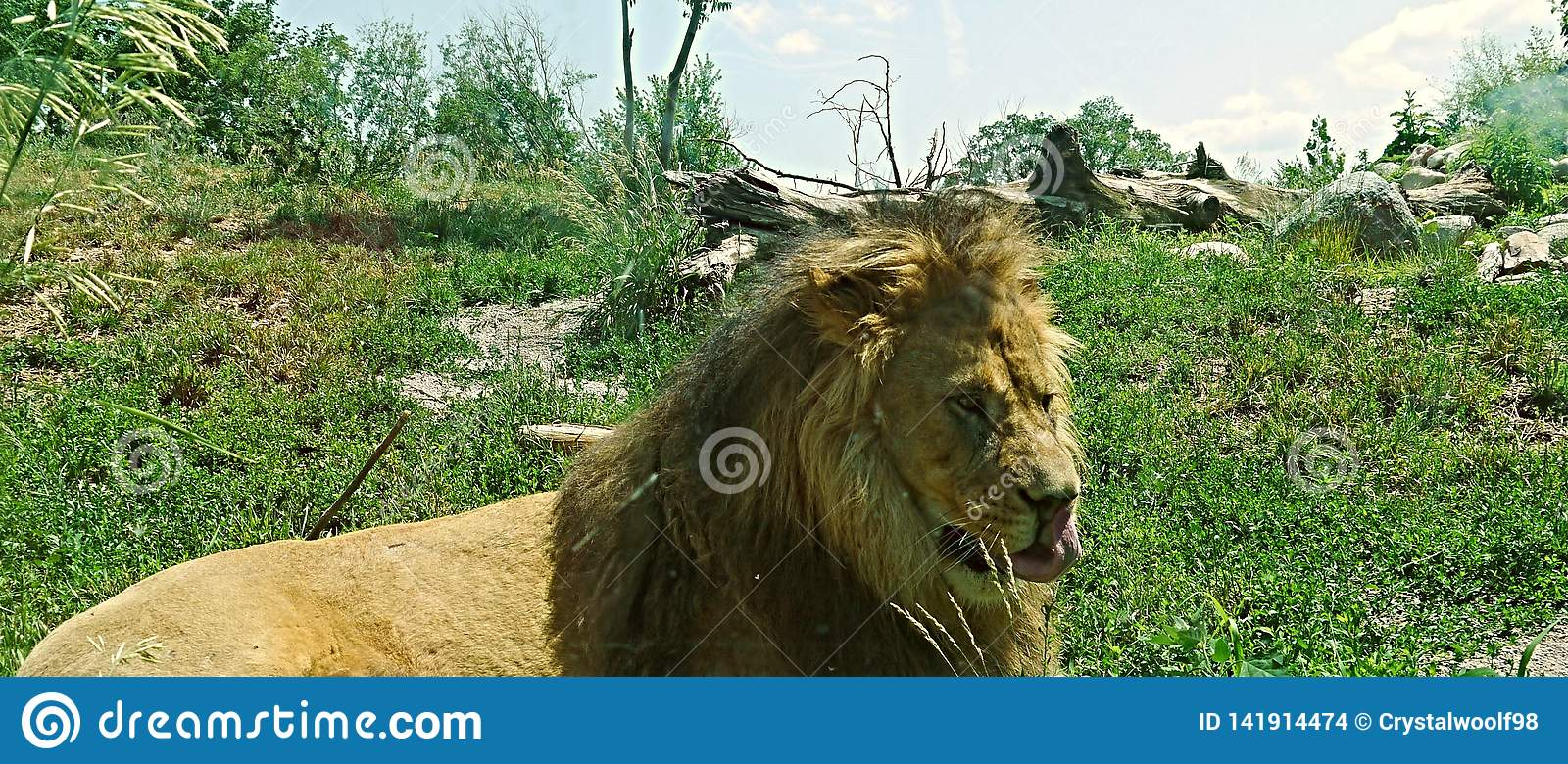 Lion With His Tongue Out