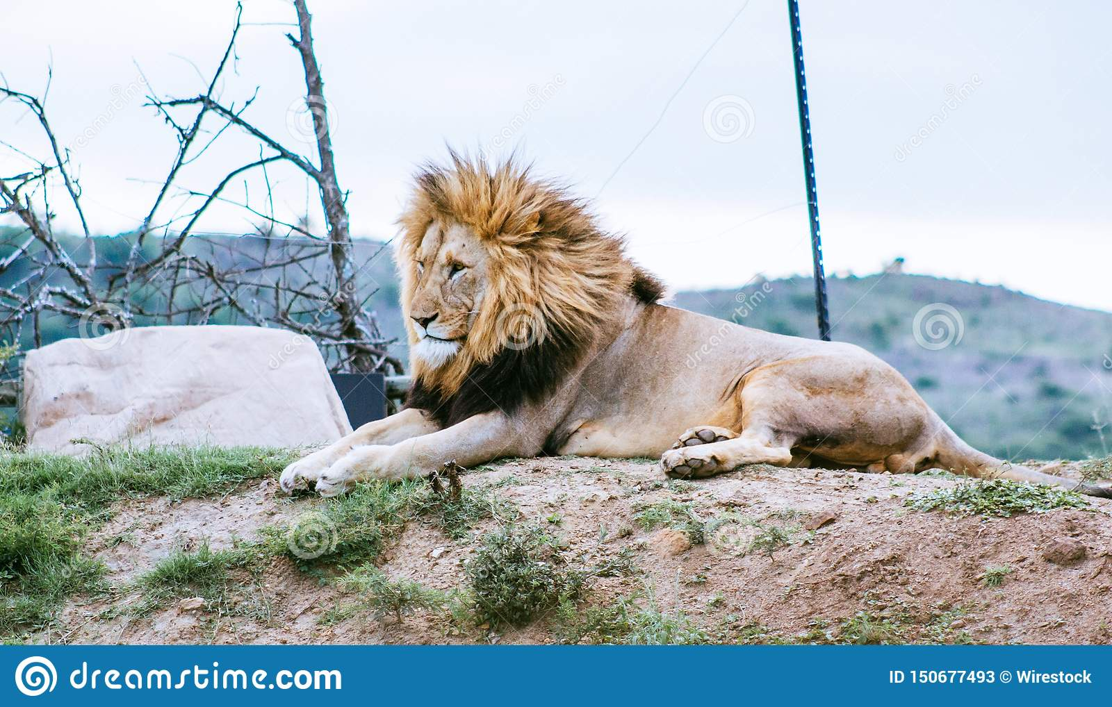 Lion laying on the hill looking in other direction