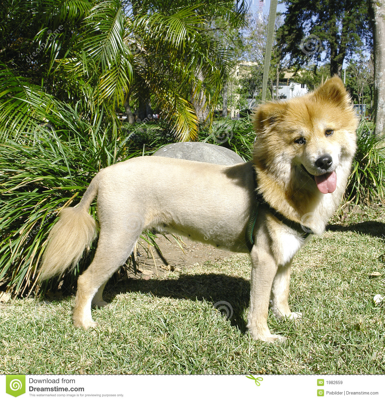 Lion Like Dog Stock Image Image Of Cute Groomed Attentive 1982659