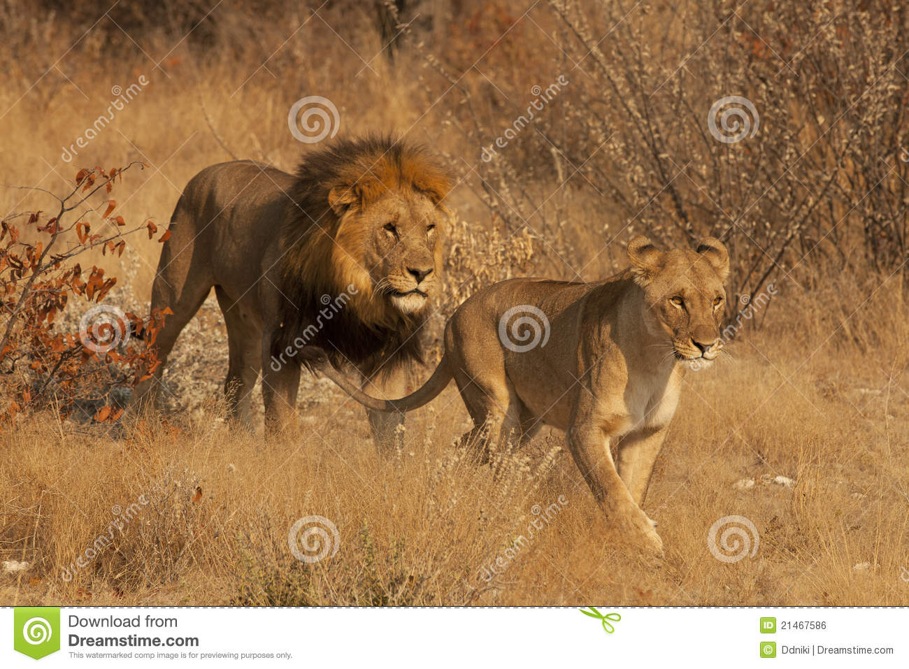 lion and lioness royalty free stock image   image 21467586
