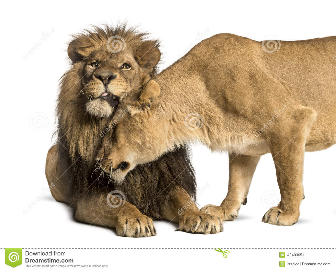Lion And Lioness Cuddling, Panthera Leo, Isolated Stock ...