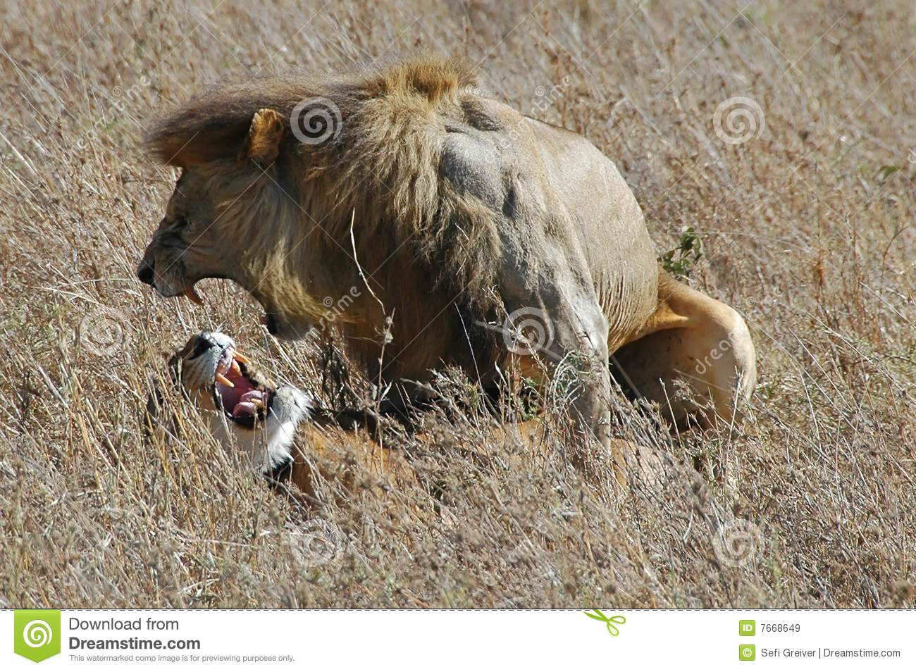 Lion and lioness mate