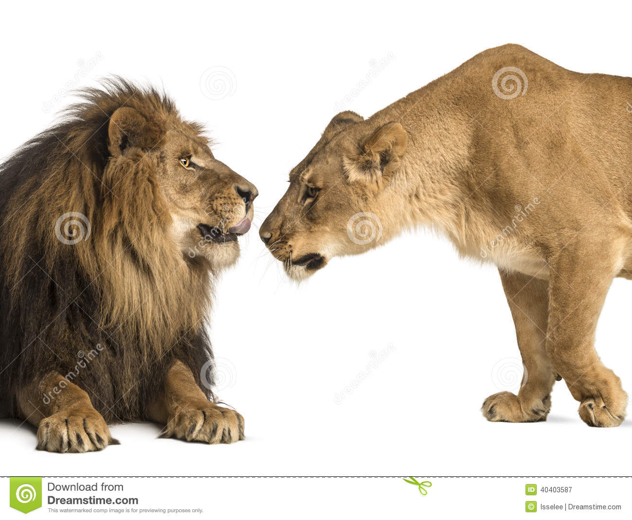 Lion and lioness sniffing each other, Panthera leo, isolated on