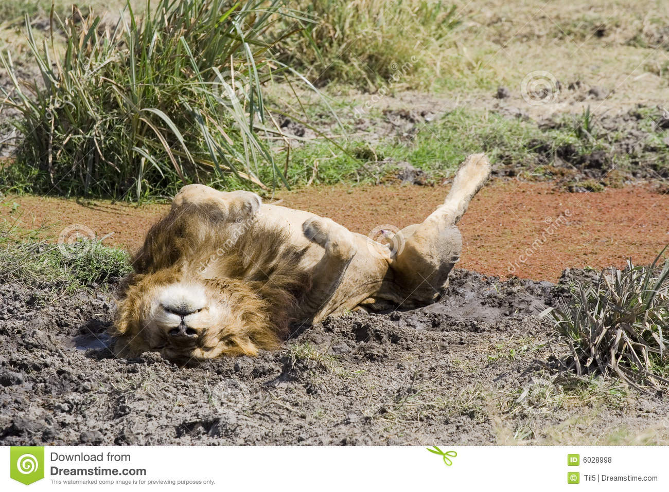 Lion Lying On Back In Mud Stock Photo Image Of Relaxation