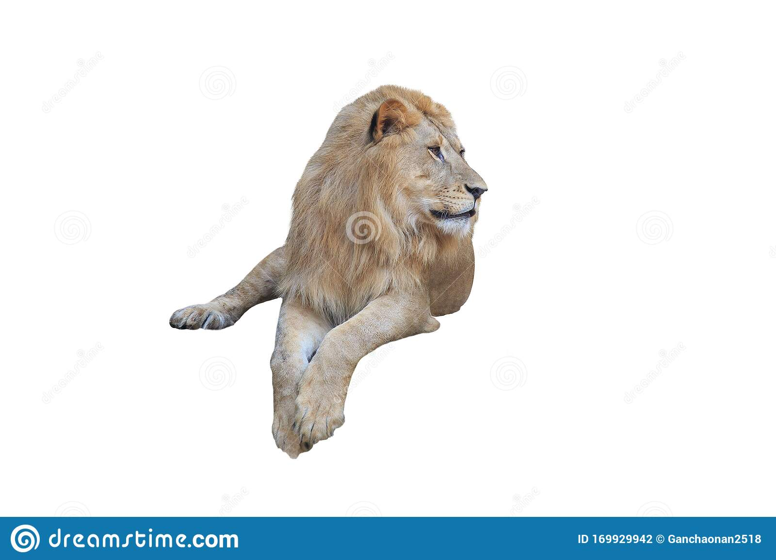 Lion Lying Down Stock Illustrations 56 Lion Lying Down Stock Illustrations Vectors Clipart Dreamstime Like most logos, and nearly all my work, it needed to work in any size, from very small to large. https www dreamstime com lion lying down facing panthera leo lion lying down facing panthera leo isolated white image169929942