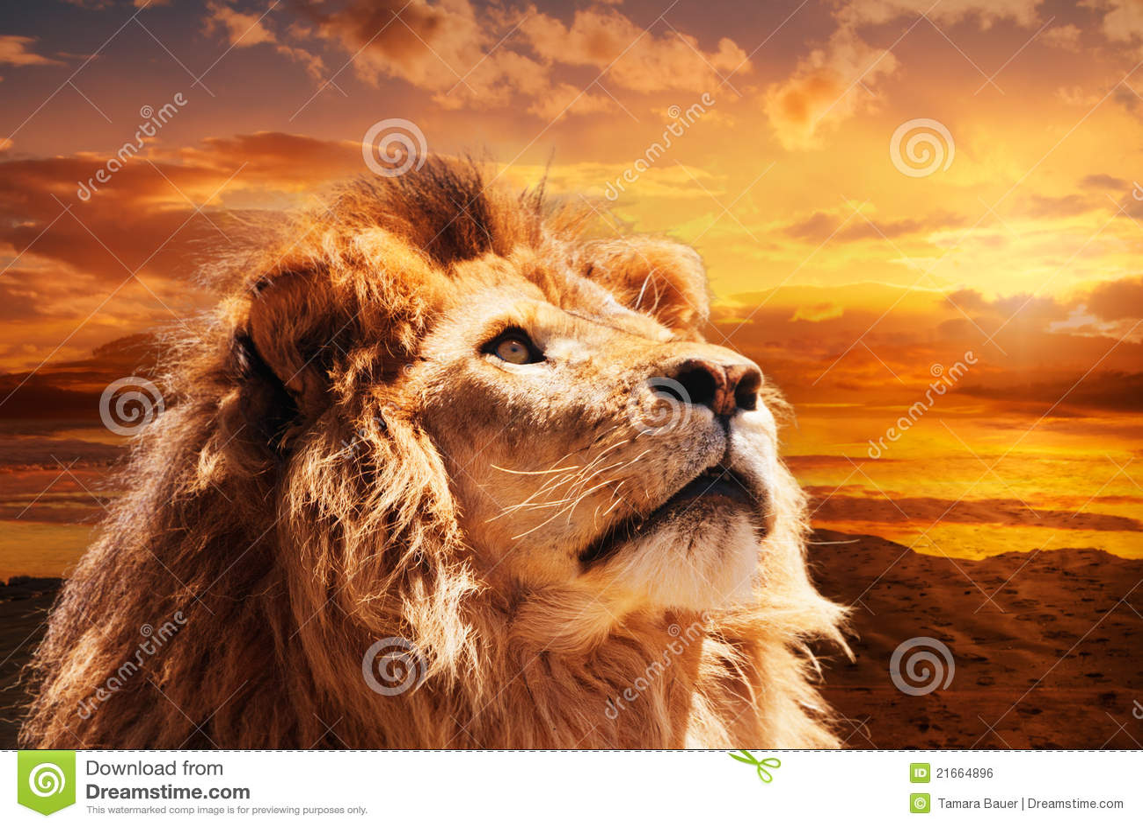 Lion majestueux photo stock image du m le horizontal - Photos de lions gratuites ...