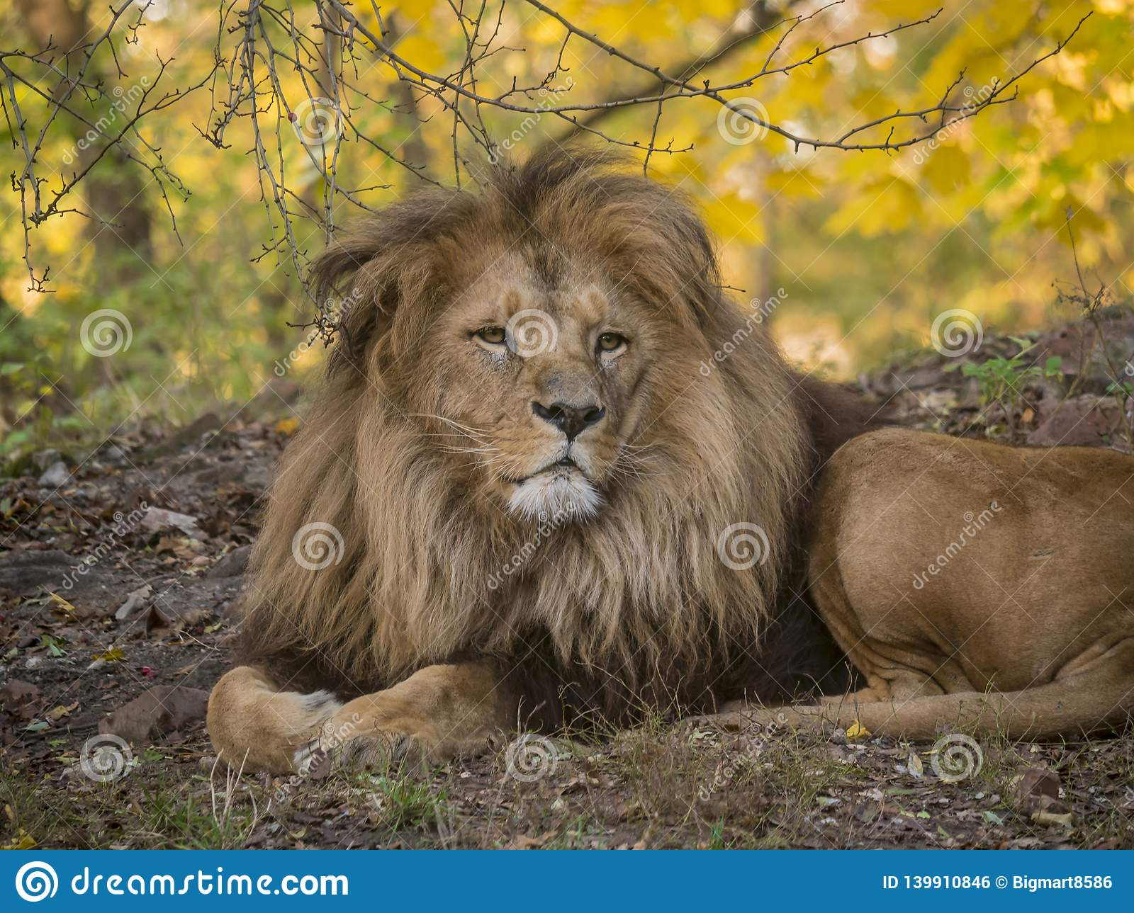 Lion male relaxing portrait view in yellow colors