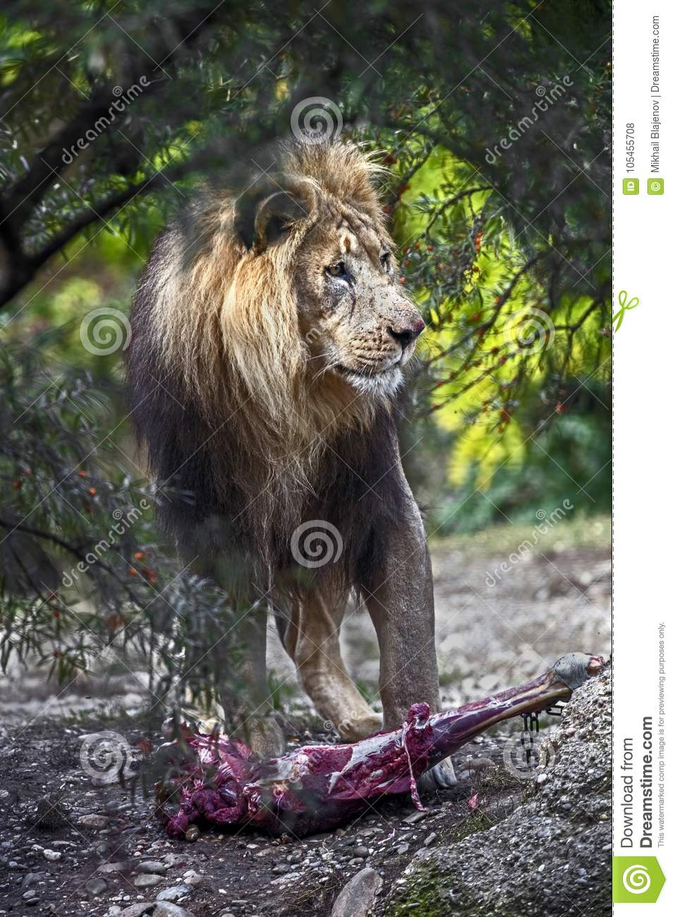 Lion male 3 stock photo  Image of creature, hunting - 105455708