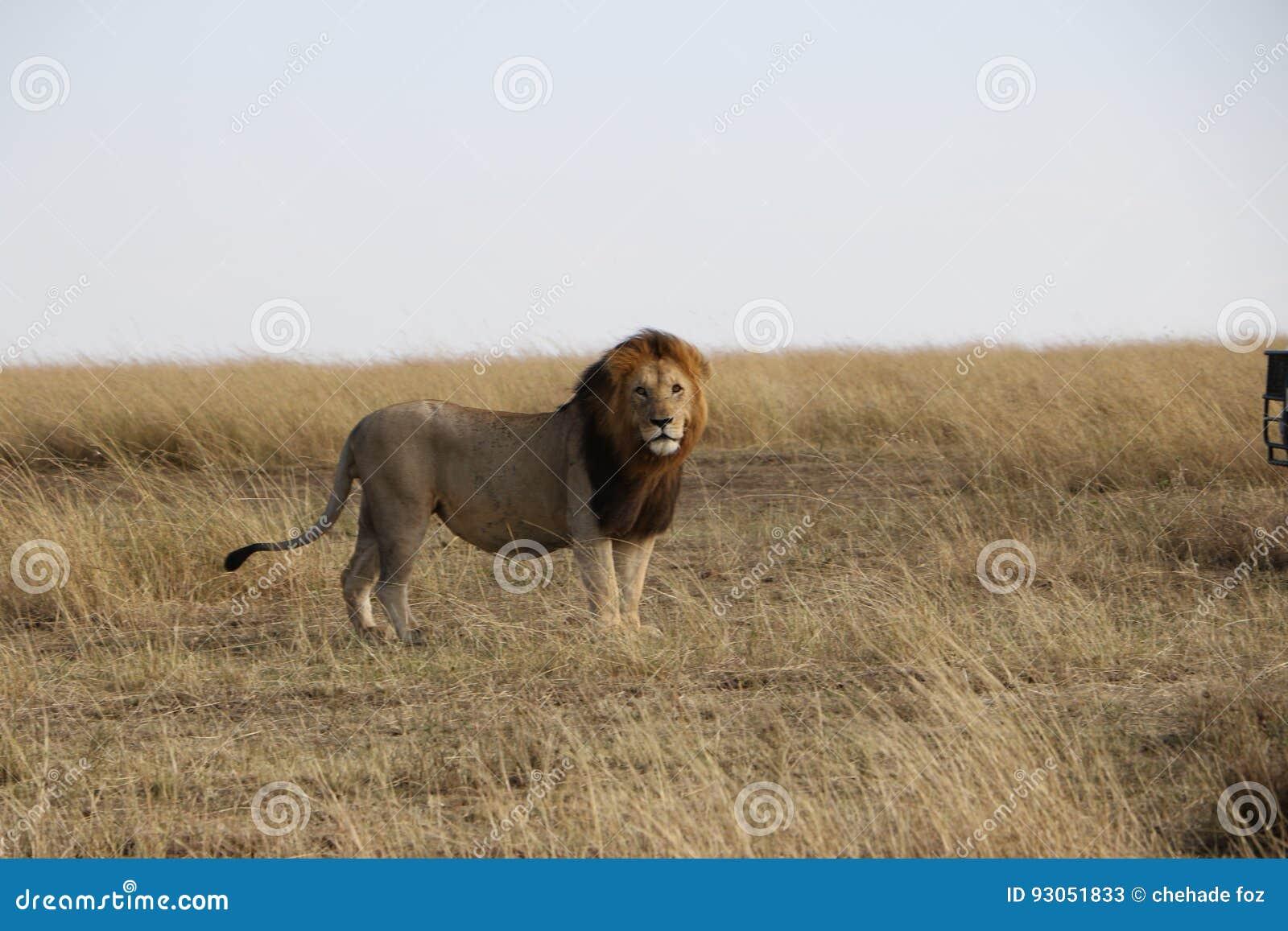 Lion masculin dans le maasai sauvage Mara